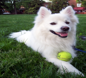 Fluffy white dog laying on grass.