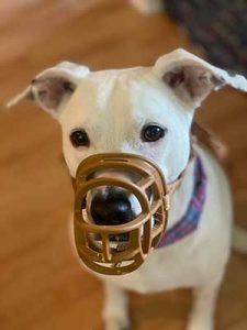 A cute dog being trained to use a muzzle