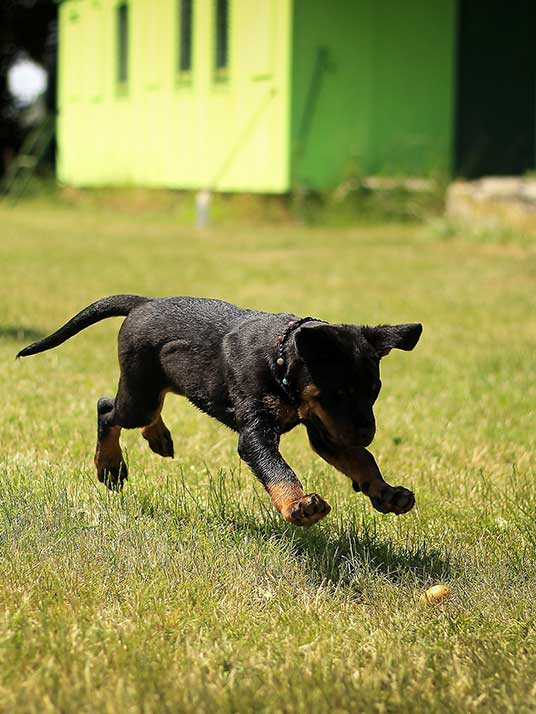 Dog running after a ball while being trained to listen - dog training.