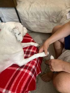 Dog getting a nail trim using a grinder.