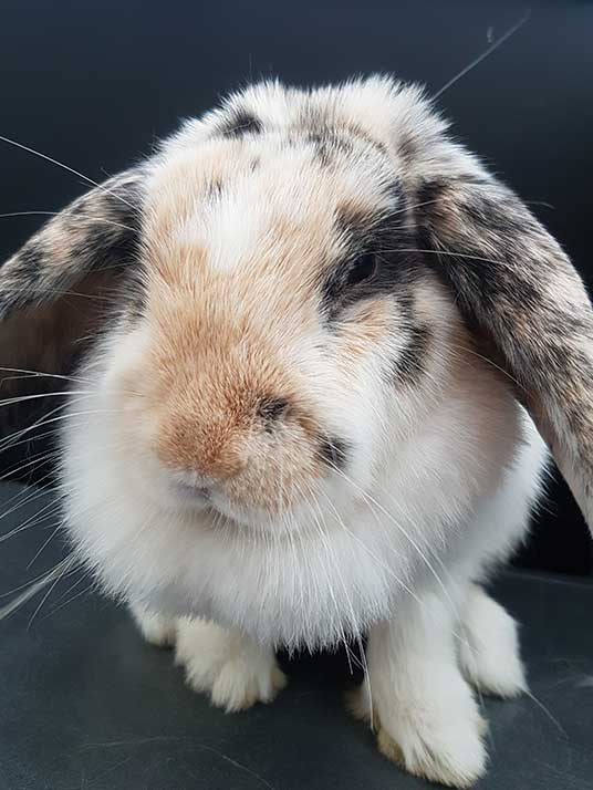 Cute rabbit, an example of other pets that Milwaukee Paws Pet Care pet sits.