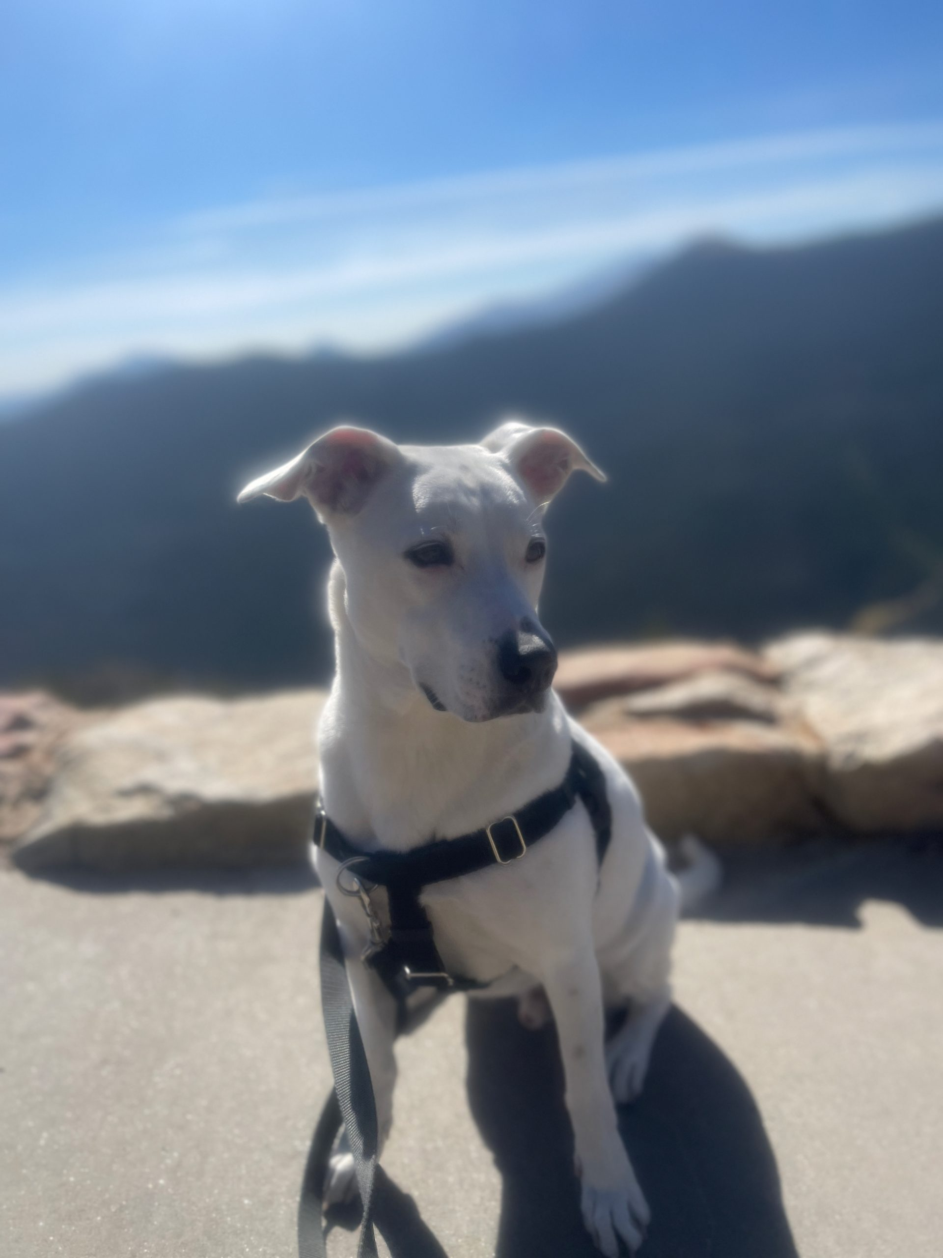 dog in harness in front of mountain landscape